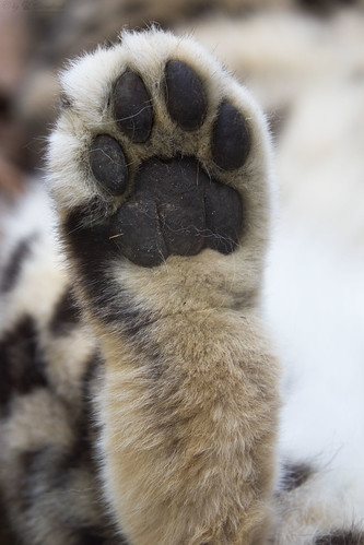 Snow leopard hind paw