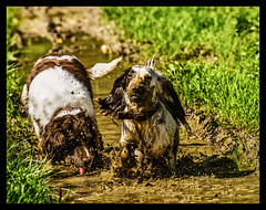 30 degrees in the shade and 40 in the sun and they still find a muddy puddle ! (TrevKerr) Tags: dogs muddy puddle englishspringerspaniel spaniel france dordogne nikon d3s