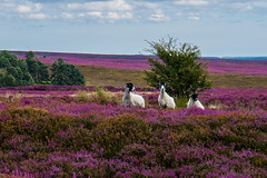 Three nosey sheep on the North Yorkshire Moors (Geordie_Snapper) Tags: blakeyridge canon5d3 canon2470mm handheld landscape northyorkshiremoors sheep sunnywithclouds ruby5