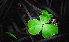 Rough life (Fujibert) Tags: botanikabremen colorgrading event farbe grün hss kleeblatt pflanze stil style veranstaltung verfall flickr sliderssunday