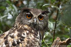 European eagle owl - Dierenrijk (Mandenno photography) Tags: dierenpark dierentuin dieren animal animals dierenrijk eagle owl owls uil uilen oehoe zoo