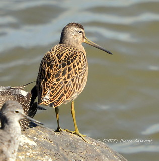 Bécassin roux, Short-billed Dowitcher