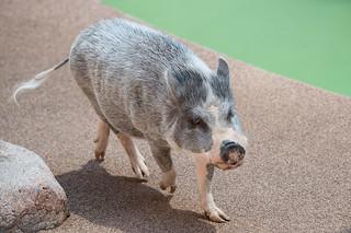 Wegeforth Bowl Potbelly Pig.