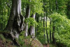 Waldweg (Petra Runge) Tags: wald baum wood tree weg natur nature landscape landschaft jasmundnationalpark rügen canon 1100d buchenwald