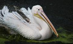 Bathing (Paula Darwinkel) Tags: pelican pinkpelican bird bathing animal wildlife nature