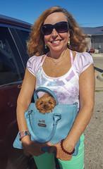 Pup In a Pouch (tquist24) Tags: cavapoo hww michigan samsung samsunggalaxys6 sicily stjoseph wanda car comfy cute dog geotagged girl portrait pretty puppy purse smile sunglasses woman saintjoseph unitedstates
