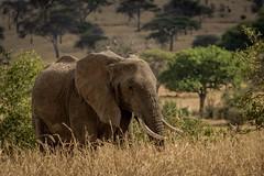 SAVANNAH ELEPHANT (dmberman1) Tags: eastafrica wildlife tarangirenationalpark tanzania africasafari