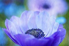 Real beauty comes from the inside (Karsten Gieselmann) Tags: 40150mmf28 anemone blau blumen blüten em5markii frühling jahreszeiten mzuiko microfourthirds natur olympus pflanzen textur blossom blue flower kgiesel m43 mft nature seasons spring texture