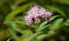 Redheaded flea beetle (fdlscrmn) Tags: bugs pink 7dwf nature leaves colours colorful smileonsaturday bizarrebugs
