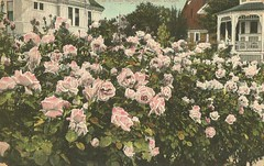 """A Rose Garden, Portland, Oregon"". -Official AYPE postcard, 1909 (912greens) Tags: aype worldsfairs portland roses backyards postcards gardens fairs pacificnorthwest 1909"