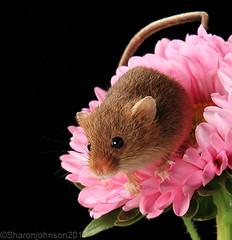 Harvest Mice 8