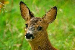 Deer little one (Em0312) Tags: nature babydeer deer fawn scottishwildlife wildlife