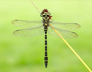 Golden-ringed Dragonfly Cordulegaster boltonii