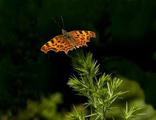 comma butterfly Warburg LNR