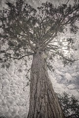 John Muir Sequoia Tree (luqmac) Tags: california contracostacounty johnmuirnationalhistoricsite muircontracostacounty martinezcalifornia alhambravalleycalifornia nikon nikond610 johnmuirsequoiatree sequoiatree nps nationalparkservice