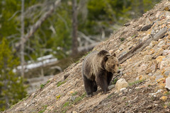 Rock climbing {Explored} (ChicagoBob46) Tags: grizz grizzly grizzlybear bear sow yellowstone yellowstonenationalpark nature wildlife explore explored coth5 ngc npc