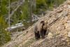 Rock climbing {Explored} (ChicagoBob46) Tags: grizz grizzly grizzlybear bear sow yellowstone yellowstonenationalpark nature wildlife explore explored coth5 ngc npc