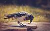 Cornacchia Grigia // Corvus Cornix (Christian Papagni | Photography) Tags: segrate lombardia italia it cornacchia grigia corvus cornix milano due laghetto dei cigni crow canon eos 7d mark ii ef100400mm f4556l is usm