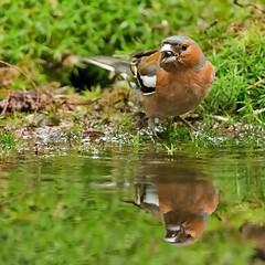 Vink - Fringilla coelebs (wimberlijn) Tags: vink fringillacoelebs vogel zangvogel natuur nationaleparkdehogeveluwe finch bird songbird nature wildlife animal 0utdoor coth5