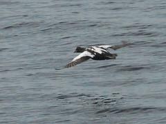 Common Eider Duck, Somateria mollissima (Herman Giethoorn) Tags: eider duck waterfowl seaduck