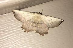 Euchlaena obtusaria - Obtuse Euchlaena (Stylurus) Tags: euchlaena obtusaria obtuse lodi township prairie oaks moth michigan