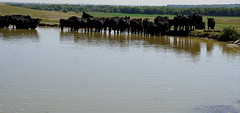 The Water Hole (Let Ideas Compete) Tags: herd cattle blackangus angus cow cows meetingplace clustered group wateringhole waterhole farm