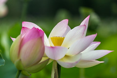 Lotus Flowers (davebentleyphotography) Tags: davebentleyphotography kenilworthaquaticgardens lotusflower 2017 flower lotus