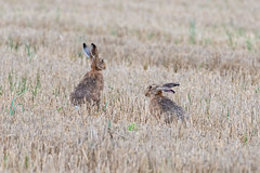 Close Escape... (CJH Natural) Tags: rabbit hare hase blood escape field corn brown mammal nikon d500 nature natural wild wildlife action event christopherharrisorg outdoors