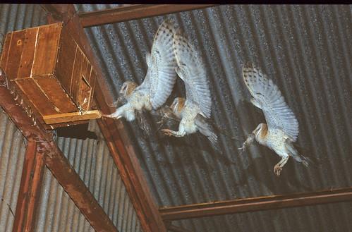 Western barn Owl, _Grimbeek store Strobe