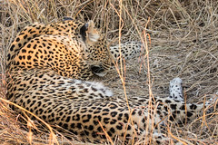 Safari-113 (Davey6585) Tags: travel traveling world southafrica africa safari tydonafricansafaris tydonsafaris tydon sabisands sabisandsprivategamereserve sabisandsgamereserve pantherapardus leopard africanleopard cat bigcat bigfive big5 animal animals wildlife wildanimals