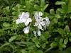Plumbago auriculata Lam. 1786 (PLUMBAGINACEAE) (helicongus) Tags: plumbagoauriculata plumbago plumbaginaceae jardínbotánicodeiturraran spain