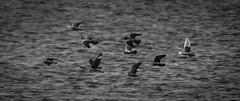 Full speed (Explore 2017-08-12) (sharken14) Tags: pigeons grasoferry gräsöfärjan uppland gräsö öregrund nikon d750 fåglar svartvitt roslagen sweden duvor fart speed