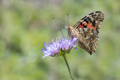 Painted Lady (Tim Melling) Tags: cynthia cardui painted lady butterfly yorkshire timmelling