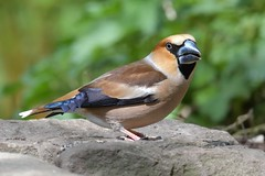 Hawfinch, Forest of Dean (KHR Images) Tags: hawfinch coccothraustescoccothraustes mature male breedingplumage forestofdean gloucestershire woodland forest wild bird nature wildlife nikon d500 kevinrobson khrimages