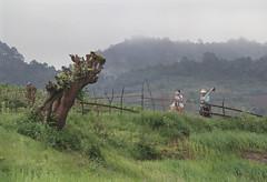 Plowing (J-Christophe) Tags: 35mm myanmar birmanie nikon f801s kodak portra400 portra 400 film worker plowing