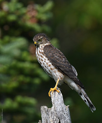 Épervier brun / Sharp-shinned Hawk / Juv. (Sylvain Prince) Tags: accipiterstriatus