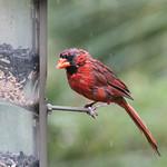 Cardinal Wetfeathers thumbnail
