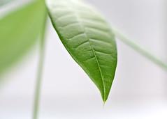 2017-08-13 Leaf Macro (tsegat1) Tags: macro leaf highkey raynox runnerupformacromonday hbw hggt colorfulworldgreen cmwdgreen