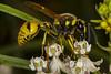Potter Wasp (Eumeninae) (pointnshoot) Tags: ulistacnaturalarea canonef100mmf28lmacroisusm wasp potterwasp eumeninae hymenoptera vespidae