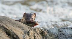 Catch! (Alexandre Légaré) Tags: nikon d3200 wildlife mink vison neovison martinville canada québec americanmink visondamérique