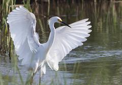 Angel wings (Susan Jarnagin) Tags: nj atlanticcounty edwinbforsythenwr pinelandsnationalreserve wildlife bird