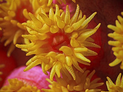 Yellow cave coral, Krustenanemonen (Dendrophillia Tubastrea sp) (scubaluna) Tags: yellowcavecoral krustenanemonen dendrophilliatubastreasp anemone krustenanemone popart abstract reffart reef coralreef textured pattern cutout macro closeup detail tentacles yellow bright poppig animal sealife marinelife wildlife livingorganism animalthemes outdoors nature fauna biology zoology underwater undersea unterwasser tauchen underwaterphotography olympusesystem e5 100mm scubalunaphotography indonesia asia southeastasia manado pulaubangka northsualwesi sulawesi seasoulsdivingresort desakahuka summer july 2016