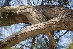 Tawny_Frogmouth (africanrootz) Tags: camouflage nikon birdsofaustralia australia darwin tawny frogmouth tawnyfrogmouth