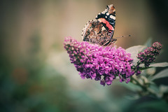 Butterfly on budleia (NikkiNakkiNoo365) Tags: macro garden nature tamron90mm butterfly canon1100d budleia snapseed