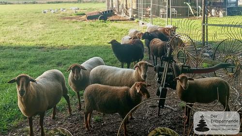 Schafe im Selztal