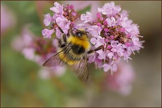 P1190559-1 - Bumblebee on Marjoram