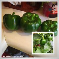 (davids_studio) Tags: garden greenpeppers homegrown