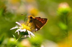 Tiny Skipper (Karen McQuilkin) Tags: skipper butterfly tiny