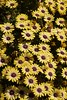marguerites (Val in Sydney) Tags: cumberland hospital park parramatta australie australia nsw flower festival wisteria