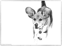 Snickers (chase_lyda) Tags: dog animal snickers snow winter running bw blackandwhite monochrome